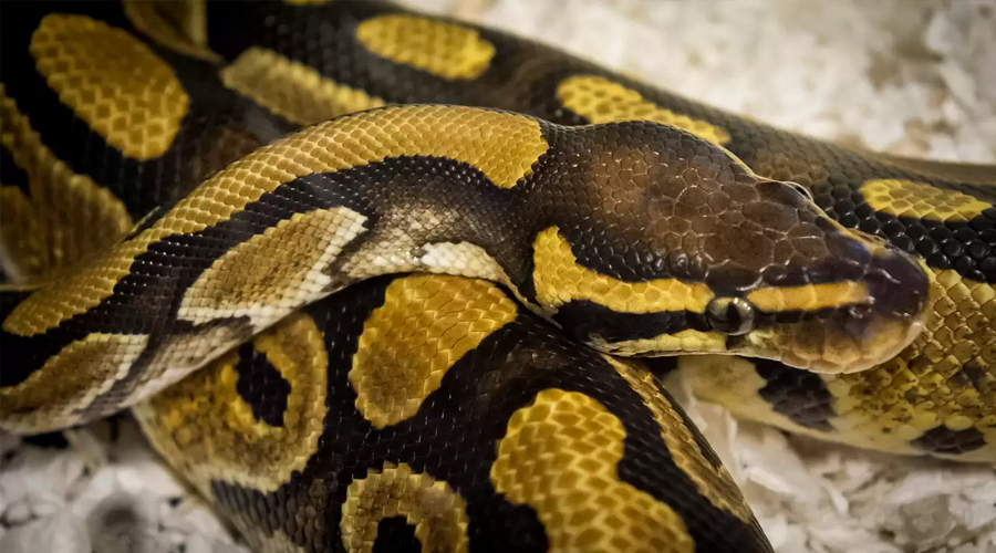 Woman Discovers Python In Her Suitcase After Flight